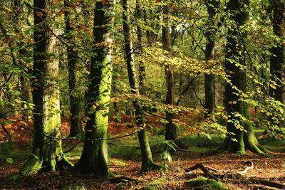 Beech woodland near Blackwater Brook, New Forest