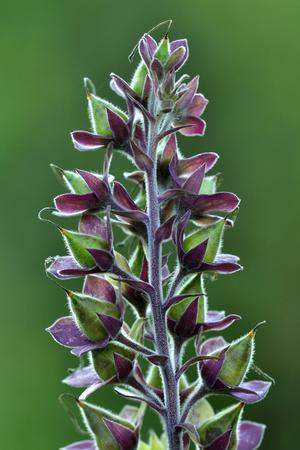 Foxglove (Digitalis Purpurea) Seedpods, Dorset, UK. July