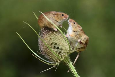 Harvest Mice (Micromys Minutus) on Teasel Seed Head. Dorset, UK, August. Captive