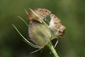 Harvest Mice (Micromys Minutus) on Teasel Seed Head. Dorset, UK, August. Captive by Colin Varndell