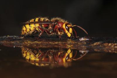 Hornet (Vespa crabro) drinking at bird bath. Dorset, UK,