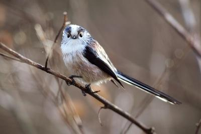 Long-tailed Tit
