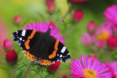 Red Admiral Butterfly (Vanessa Atalanta) On Michaelmas Daisy Flowers. Dorset, UK, October 2012