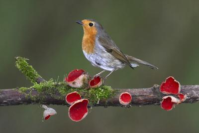 Robin on branch with Scarlet elfcup fungus spring. Dorset, UK, March