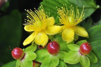 Tutsan Flowers And Fruit