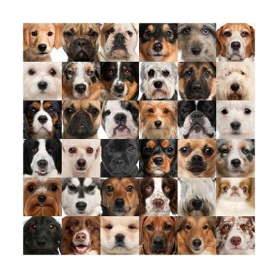 Collage Of 36 Dog Heads-Life on White-Art Print