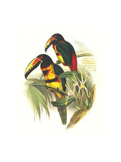 Collared Aracari-John Gould-Art Print