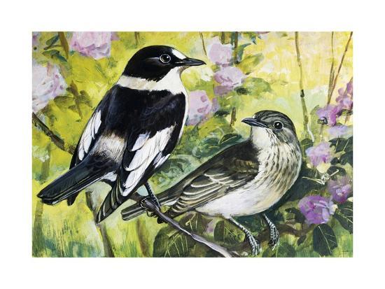 Collared Flycatcher (Ficedula Albicollis), Muscicapidae--Giclee Print