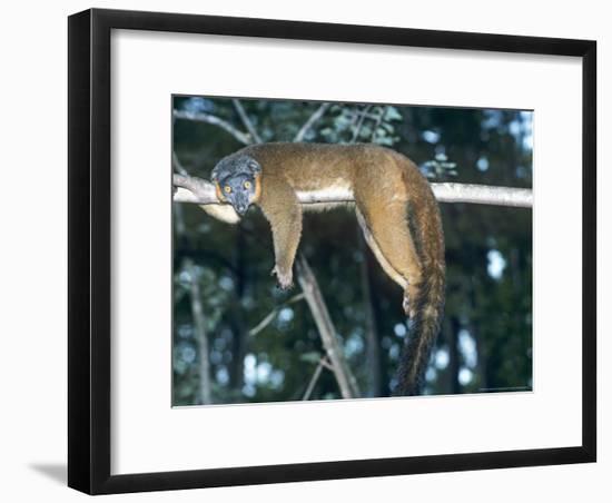 Collared Lemur, Female, Dupc-David Haring-Framed Photographic Print