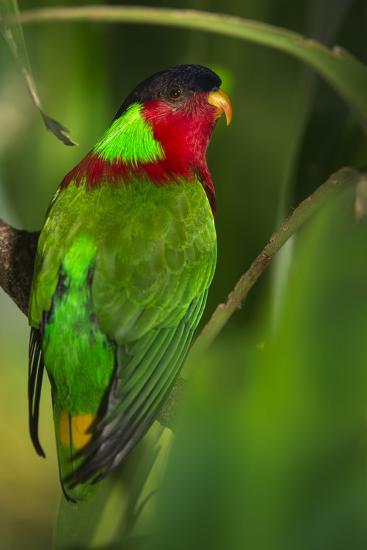 Collared Lory, Endemic to Fiji, Captive-Pete Oxford-Photographic Print