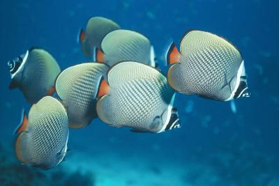 Collared Pakistan Butterfly Fish--Photographic Print