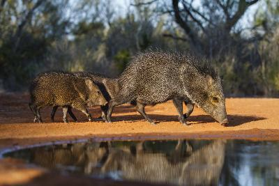 Collared Peccary Family at Pond-Larry Ditto-Photographic Print