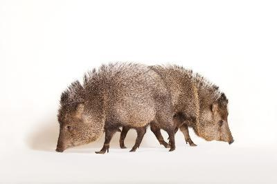 Collared Peccary, Pecari Tajacu, at the Omaha Zoo's Wildlife Safari Park-Joel Sartore-Photographic Print