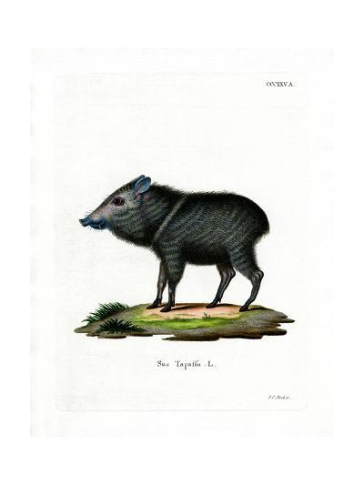 Collared Peccary--Giclee Print