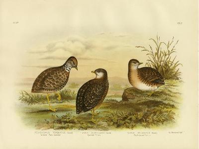 Collared Plainwanderer or Plains Wanderer, 1891-Gracius Broinowski-Giclee Print