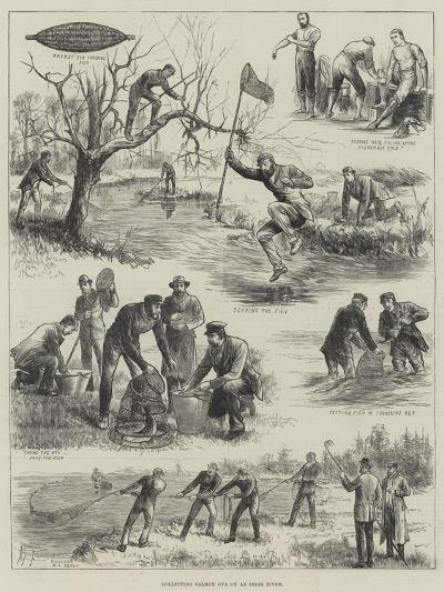 Collecting Salmon Ova on an Irish River--Giclee Print