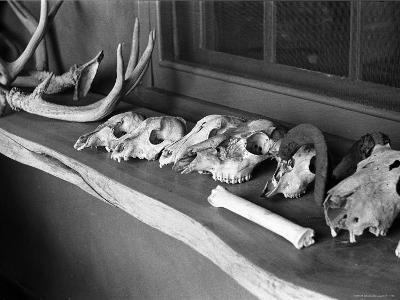 Collection of Antlers, Skulls and Bones on Window Still at Ghost Ranch of Georgia O'Keeffe's Home-John Loengard-Photographic Print