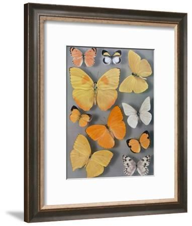 Collection of Butterflies-Willard Culver-Framed Photographic Print
