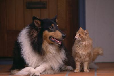 Collie and Cat Sitting on Front Step-DLILLC-Photographic Print