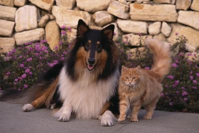 Collie and Yellow Cat on Sidewalk-DLILLC-Photographic Print
