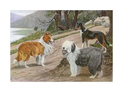 Collie, Old English Sheep Dog and Smooth Collie--Giclee Print