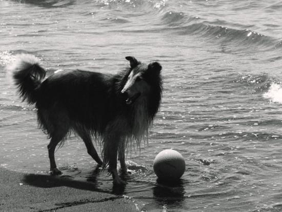 Collie on the Beach-Vincenzo Balocchi-Photographic Print
