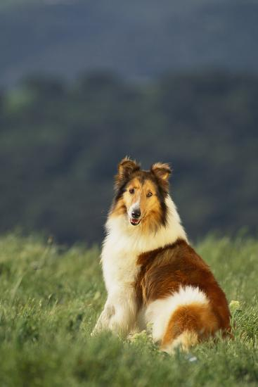 Collie Sitting in a Meadow-DLILLC-Photographic Print
