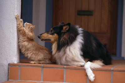 Collie Watching Cat Scratch Wall-DLILLC-Photographic Print