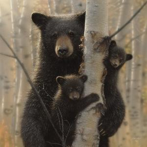 Black Bear Mother and Cubs - Mama Bear by Collin Bogle