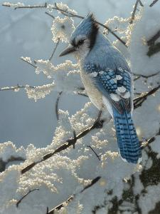 Blue Jay - On the Fence by Collin Bogle