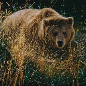 Brown Bear - Crossing Paths by Collin Bogle