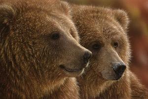 Brown Bears - Lazy Daze by Collin Bogle