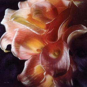 Calla Lilies - Emerging Dawn by Collin Bogle