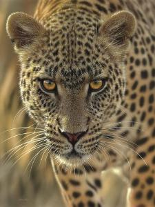 Leopard - On the Prowl by Collin Bogle