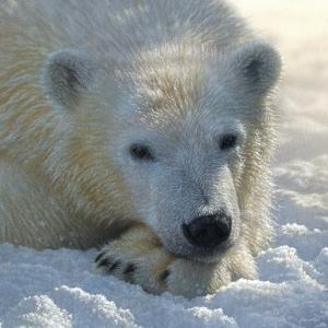 Polar Bear Club by Collin Bogle