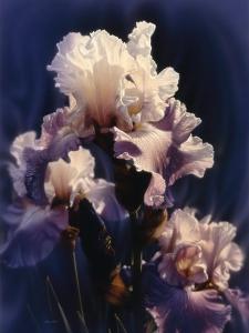 Purple Iris by Collin Bogle