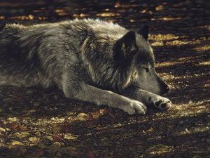 Resting Wolf by Collin Bogle