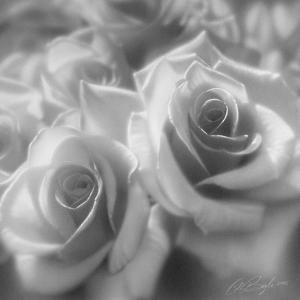 Rose Pair B&W by Collin Bogle