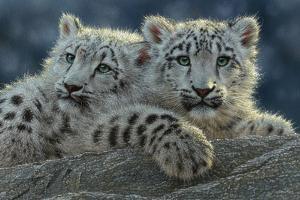 Snow Leopard Cubs by Collin Bogle