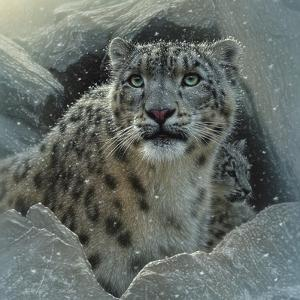 Snow Leopard - The Fortress by Collin Bogle
