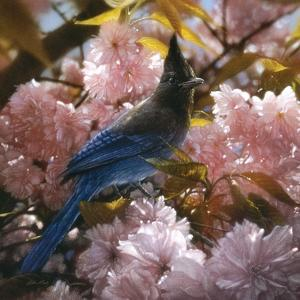 Steller's Blossoms by Collin Bogle