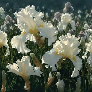 White Iris Garden - Square by Collin Bogle