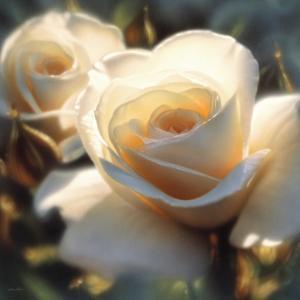 White Rose - Colors of White - Square by Collin Bogle