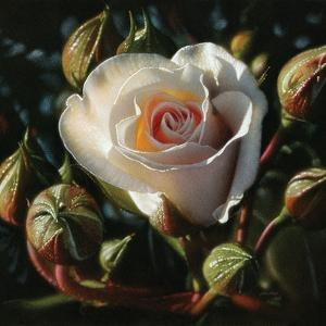 White Rose - First Born by Collin Bogle