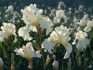 White Rose Garden by Collin Bogle