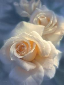 White Roses - Unforgettable by Collin Bogle