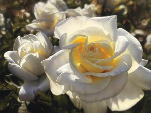 White Roses by Collin Bogle