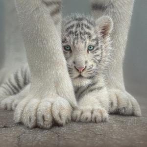 White Tiger Cub - Sheltered by Collin Bogle
