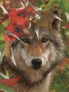 Wolf - Autumn Encounter by Collin Bogle