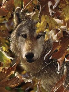 Wolf - Autumn Shadows by Collin Bogle